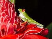 Red eyed tree frog (Agalychnis callidryas) . Tortuguero National park, Limon province, Costa Rica.