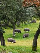Herd of iberian pigs, Jabugo, Huelva province, Spain.