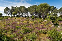 Lavandula and Pines in The Cigarral. Cadalso de los Vidrios. Madrid. Spain. Europe.