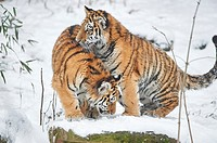 Close-up of two Siberian tiger (Panthera tigris altaica) youngsters in winter.