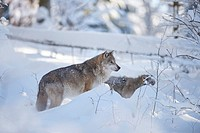 Close-up of a Eurasian wolf (Canis lupus lupus) in a snowy winter.