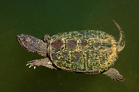 Snapping turtle, Chelydra serpentina, Maryland, USA