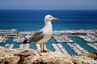 Close up of common gull, Larus canus, on wall overlooking marina by sea.