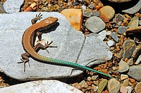 Young Iberian Wall lizard (Podarcis hispanica).