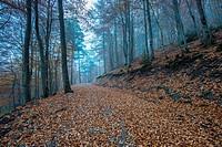 Beechwood (Fagus sylvatica). Valle de Hecho, Valles Occidentales Natural Park, Pyrenees Mountains, Huesca province, Aragon, Spain