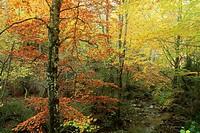 Beech in autumn near of the waterfall Belabarce. Isaba. Navarra.