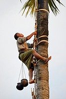 Myanmar, Mandalay region, Bagan surroundings, Toddy harvest up a sugar palm tree