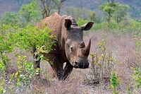 White rhinoceros or Square-lipped rhinoceros (Ceratotherium simum), standing, attentive, Kruger National Park, South Africa, Africa.