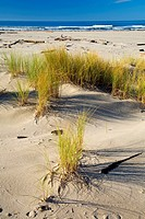 Dune grass, Bayocean Peninsula, Oregon.