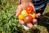 Small tomatoes being presented in an urban vegetable garden located in Baltimore city, Maryland.