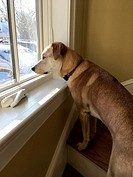 Adopted Rescue Dog Looking Out Window, Winchester, Massachusetts, USA.