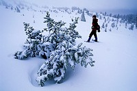 Snowshoeing by pine in winter at Timberline, Mt Hood National Forest, Oregon.