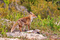 Spain, Province of Lleida, Red Fox (Vulpes vulpes), coming at a feeding station to find food.