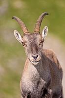 Alpine Ibex (Capra ibex), portrait of an adult female, Niederhorn, Bernese Oberland, Switzerland.