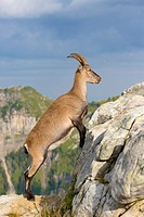Alpine Ibex (Capra ibex), adult female climbing on rock, Niederhorn, Bernese Oberland, Switzerland.
