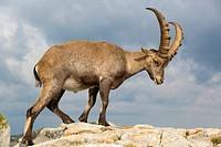 Alpine Ibex (Capra ibex), adult male standing on rock, Niederhorn, Bernese Oberland, Switzerland.