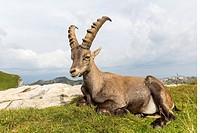 Alpine Ibex (Capra ibex), adult male lying on meadow, Niederhorn, Bernese Oberland, Switzerland.