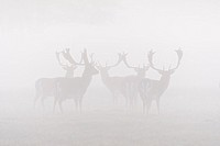 Herd of Fallow Deers (Cervus dama) on misty morning, Hesse, Germany, Europe.