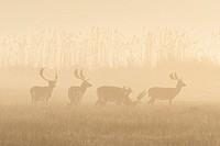 Fallow Deers (Cervus dama) on misty morning, Hesse, Germany, Europe.