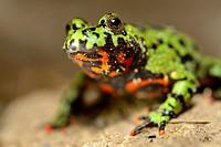 Asian fire-bellied toad (Bombina orientalis).