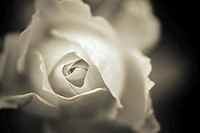 Rose flower petals in close up. Black and white nature detail.