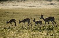 Springbok (Antidorcas marsupialis) - Lambs and adult, Kgalagadi Transfrontier Park in rainy season, Kalahari Desert, South Africa/Botswana.