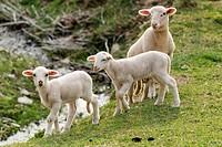 Lambs in a green field, Sant Pau de Segúries, Ripollès, Catalonia, Spain, Europe.