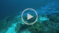 Large school of fish, Lunar Fusilier - Caesio caerulaurea swim in blue water, Oceania, Indonesia, Southeast Asia