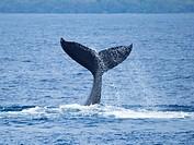 Maui Humpback Whale Tail Slap.