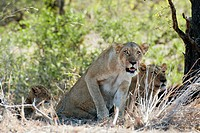 Female Lion (Panthera leo) standing up next to cub, Kruger National Park, Transvaal, South Africa.