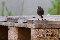 germany, saarland, homburg -A black redtail is searching for fodder.