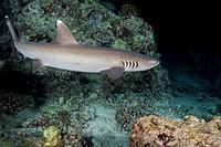 Whitetip reef shark (Triaenodon obesus) swim over coral reef in the night, Indian Ocean, Maldives.