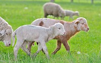 Young lambs and sheep on field in spring time.