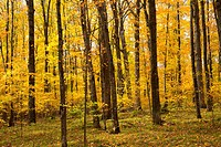 Hardwood forest in autumn, Chequamegon-Nicolet National Forest, Wisconsin.