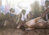Slaughter of a bull during the Gada system ceremony in Borana tribe, Oromia, Yabelo, Ethiopia.