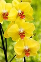 Orchid. Phalaenopsis.