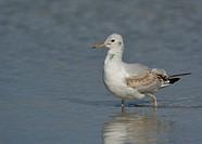 Slender-billed Gull (Larus genei), Greece
