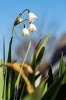 Spring Snowflake (Leucojum vernum) - North Carolina Arboretum, Asheville, North Carolina, USA.