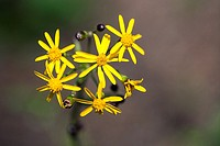 Ragwort (packera aurea) - Brevard, North Carolina, USA.