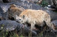 Spotted Hyena (Crocuta crocuta) feeding on the carcass of an elephant, Maasai Mara national reserve, Kenya.