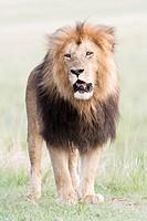 Male African Lion (Panthera leo) on savanna, Masai Mara National Reserve, Kenya, Africa.