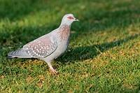 Guinea pigeon (Columba guinea). Windhoek. Namibia