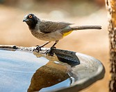 African Red-eyed Bulbul (Pycnonotus nigricans). Windhoek. Namibia