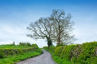Bare oak trees in spring on a countryside lane in Cheshire UK