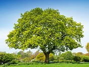 Oak tree in Cheshire countryside UK