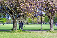 People walking in The Meadows under Japanese cherry trees blossom, Edinburgh, Scotland, United Kingdom.