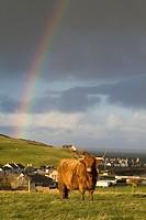 Scottish Highland cows. Banff. Aberdeenshire. Scotland. Europe.