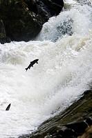 Salmon climbing. Falls of Feugh. River Feugh. Banchory. Aberdeenshire. Scotland. Europe.