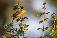 Germany, Saarland, Homburg - A yellowhammer is sitting on a branch.