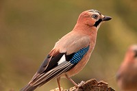 Jay (Garrulus glandarius) in the region Los Serranos. Valencia.